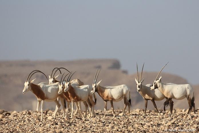 The Arabian Oryx Sanctuary of Oman - Cush Travel Blog